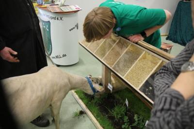 (Foto: WLL) Eine Gruppe Schafe war scharf auf den Roggen unter unserer Samenbank