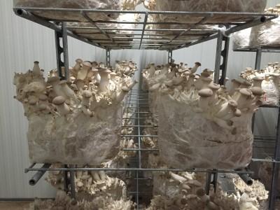 (Foto: Hoffmann) Pilze kurz vor der Ernte