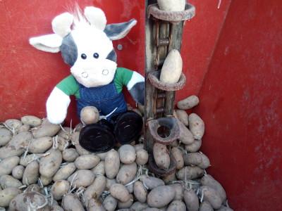 Wilma hilft beim Kartoffel setzen Foto-Weber