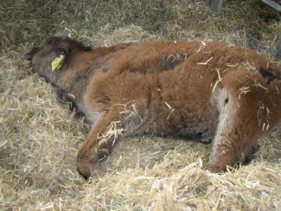 (Foto: Matilda Huesmann) Das Bison-Kälbchen Bobby