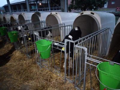 (Foto: WLL/Trepte) die ersten Kälber sind gefüttert bald gibt es auch für uns Frühstück