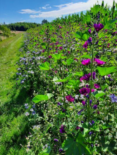 (Foto: WLL/Trepte)) Blühten soweit das Auge reicht